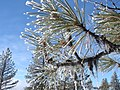 Frosty Needles Detail, Wallowa-Whitman National Forest (31968649101).jpg