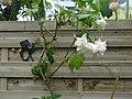 Fuchsia rustique 'Hawkshead (2) Jardin Botanique de Tourcoing.jpg