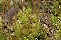 Funaria hygrometrica (d, 153418-482420) 4916.JPG