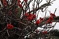 Funchal - Erythrina abyssinica (Korallenbaum) IMG 2107.JPG