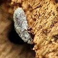Fuzz-covered Beetle (31225589905).jpg