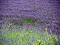GOC Ickleford 014 Lavender (7801518068).jpg