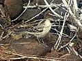 Galápagos Mockingbird (Nesomimus parvulus) -standing2.jpg