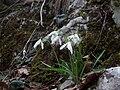 Galanthus nivalis in Croatia.jpg