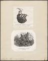 Galeopithecus volans - 1700-1880 - Print - Iconographia Zoologica - Special Collections University of Amsterdam - UBA01 IZ19700091.tif