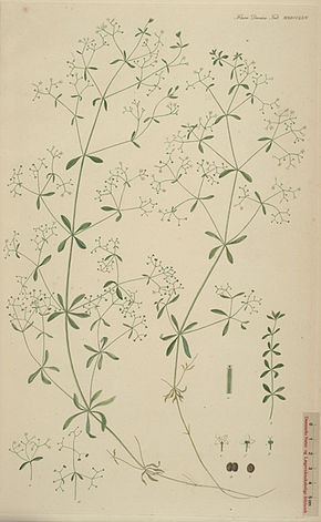 Description de l'image Galium palustre.jpg.