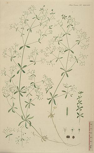 Flora Danica - Galium palustre L. Plate 2764 from Flora Danica, part 47 (1869)