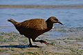 Gallirallus australis -Stewart Island, New Zealand -beach-8.jpg