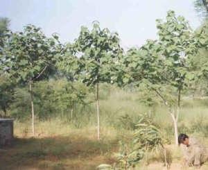 Gmelina arborea - Gmelina arborea tree plantation