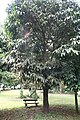 Garcinia xanthochymus 02.jpg