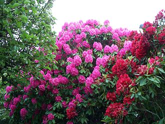Rhododendron - A garden with tall Rhododendrons in Lynnwood, Washington
