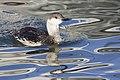 Gavia stellata -swimming -oiled-8.jpg