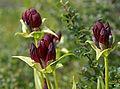 Gentiana purpurea (3812620410).jpg