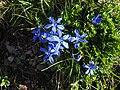 Gentiana verna 5 (Pyrenees).JPG