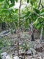 Gentianales - Morinda yucatanensis - 1.jpg