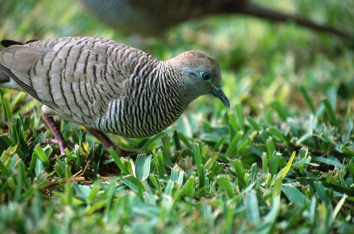 Burung Merbuk Balam - Wikipedia Bahasa Melayu ...