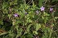 Geranium robertianum bray-sur-somme 80 25062007 1.jpg
