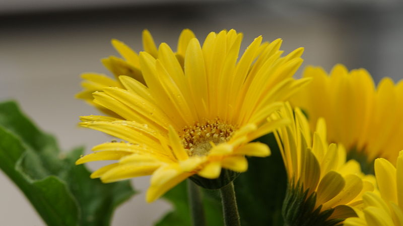 History And Meaning Of Gerbera Daisies Proflowers Blog