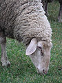 German ewe grazing closeup.jpg