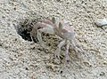 Ghost Crab. Ocypode species - Flickr - gailhampshire (1).jpg