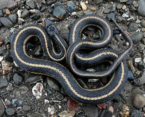 Description de l'image Giant Garter Snake 1.jpg.