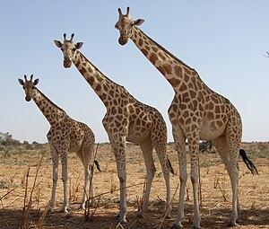 Heterochrony - Image: Girafeskoure