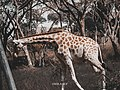 Giraffe in Kano Zoo.jpg