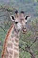 Giraffe in Zulu Nyala Reserve 05.jpg