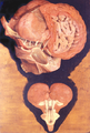 Girolamo Fabrici d'Acquapendente Tabulae Picae 1600.png