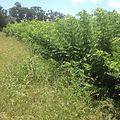 Gliricidia, a shrub legume.jpg