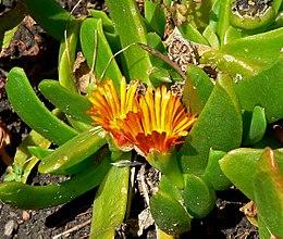 Glottiphyllum longum plant - 3