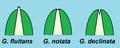 Glyceria - caratteristica della palea.png