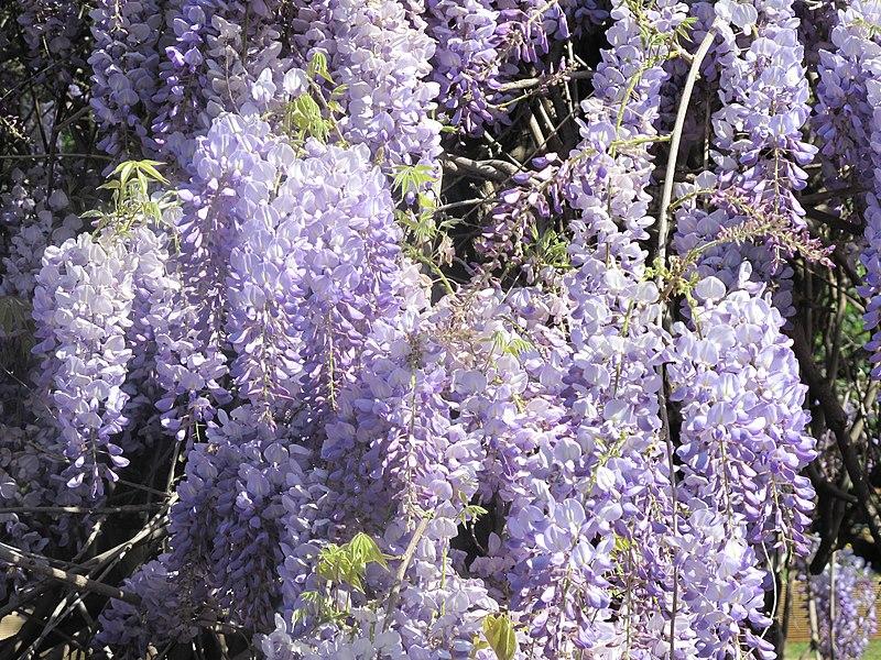 Glycine du jardin des oliviers details.jpg