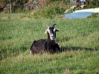British Alpine goat breed