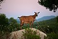 Goat on the Rock (5969671280).jpg