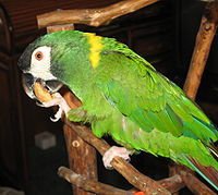 Golden-collared Macaw 041-1c