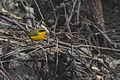Golden Bush Robin Khangchendzonga Biosphere Reserve West Sikkim Sikkim India 18.02.2016.jpg