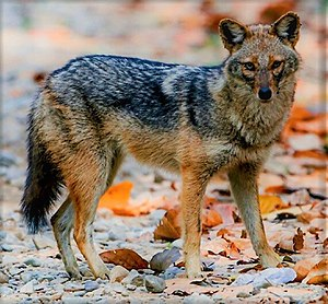 Golden jackal - Image: Golden Jackal Corbett National Park