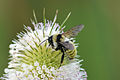 Golden Northern Bumble Bee (Bombus fervidus) (14855286195).jpg