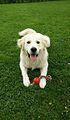 Golden Retriever Pup.jpg