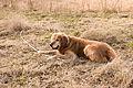 Golden Retriever with a stick (Barras).jpg
