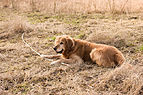 Golden Retriever with a stick (Barras).jpg