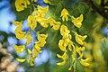 Goldregen (Laburnum) - Flickr - blumenbiene.jpg