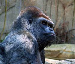Gorilla 2582