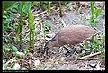 Gorsachius melanolophus (5624298606).jpg