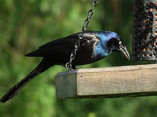 Grackle Index of animals with the same common name
