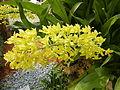 Grammatophyllumcitrinumjf9183 08.JPG