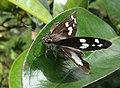 Grape Leaf Folder Moth.jpg