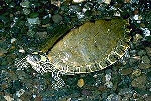 Pascagoula map turtle - Image: Graptemys.gibbonsi