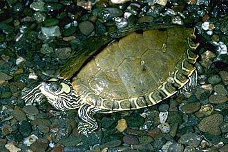 Pascagoula map turtle - Image: Graptemys.gibbonsi